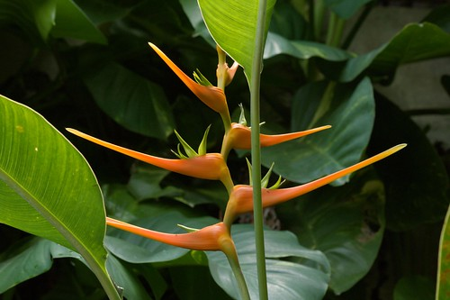 Heliconia (Parrot Flower)