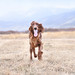 Tucker the irish setter.