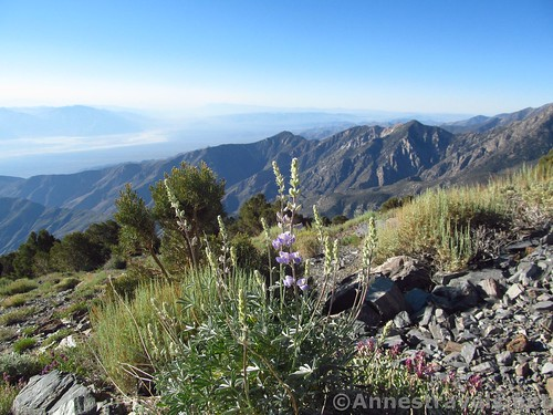 Lupines on Roger's Peak in Death Valley National Park, California