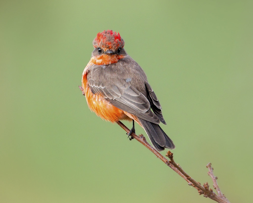 vermilion flycatcher - Coyote Valley Open Space Preserve
