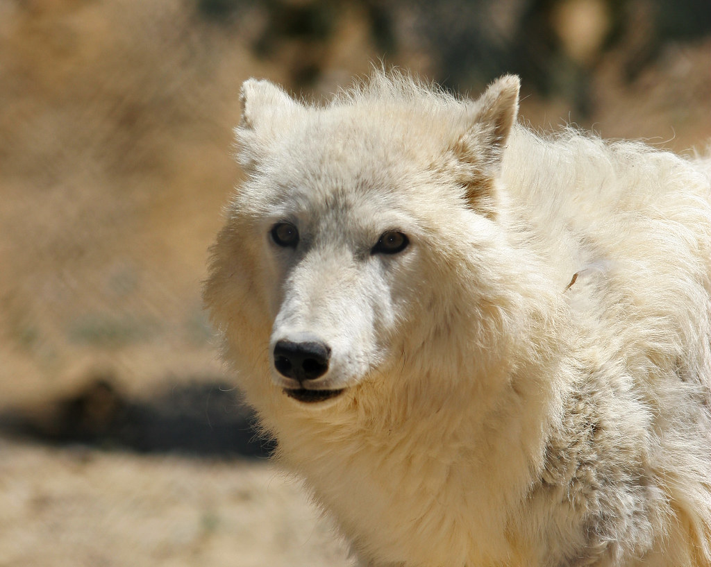 Wolf-IMG_9036