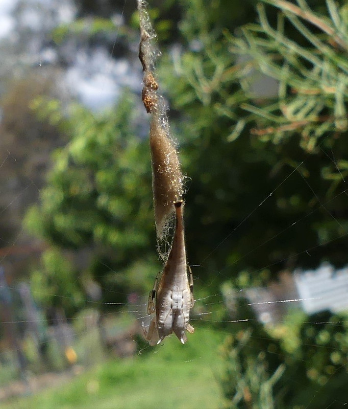 Scorpion-tailed Spider - Arachnura higginsi (Araneinae)
