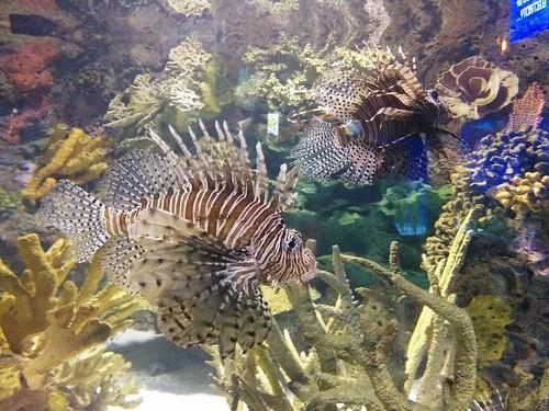 Lionfish (2) #toronto #ripleysaquarium #aquarium #fish #lionfish #latergram