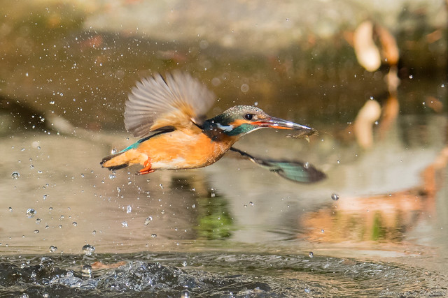 20171229-kingfisher-DSC_3022