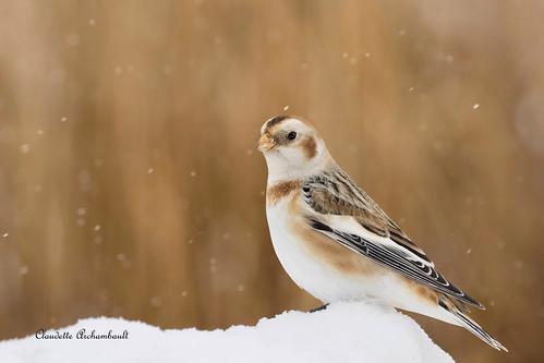 Plectrophane des Neiges, Snow Bunting