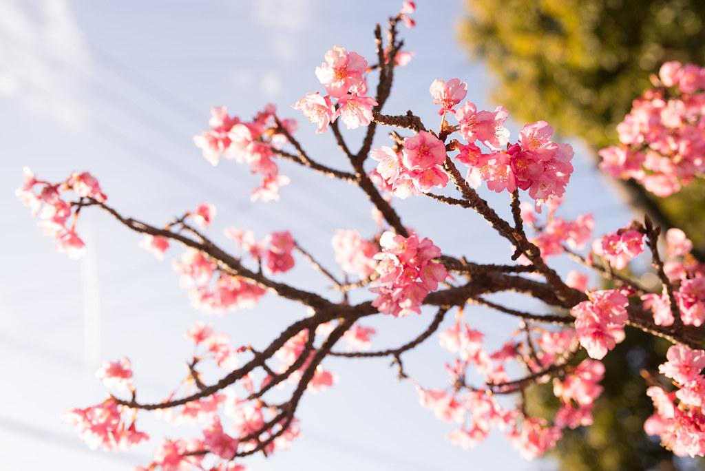Cherry Blossom, Nikaido, Kamakura