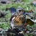 Fieldfare Leighton Moss RSPB F00044 D210bob DSC_8825