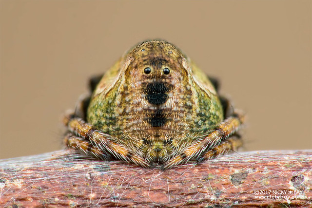 Orb weaver spider (Araneidae) - DSC_4446