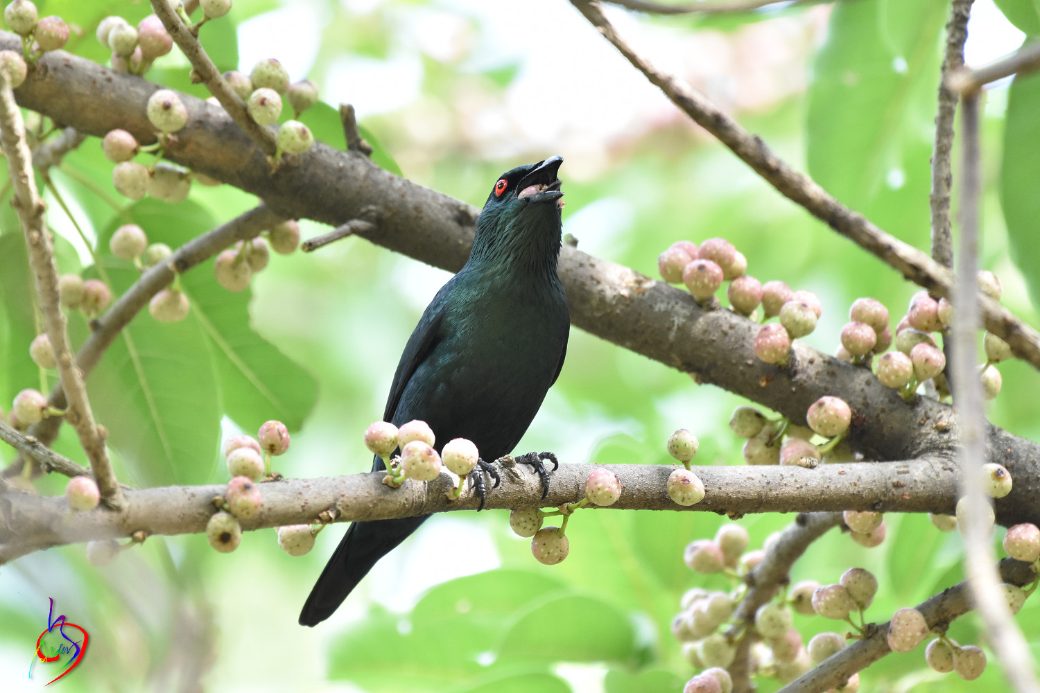 Asian_Glossy_Starling_4760