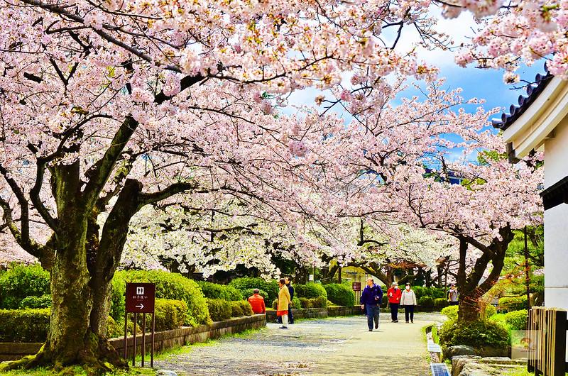 長濱城櫻花