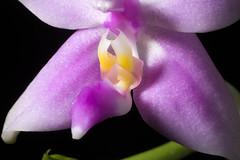 [Sumatera, Malaysia] Phalaenopsis mentawaiensis '#1' O.Gruss, Orchidee (Hamburg) 65: 238 (2014)