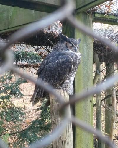 Great horned owl #toronto #torontozoo #birds #owl #greathornedowl #latergram