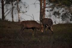 HolderCamberley Chobham Ridges 28 December 2017 034