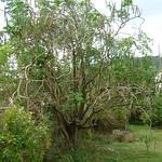 Moringa oleifera_tree
