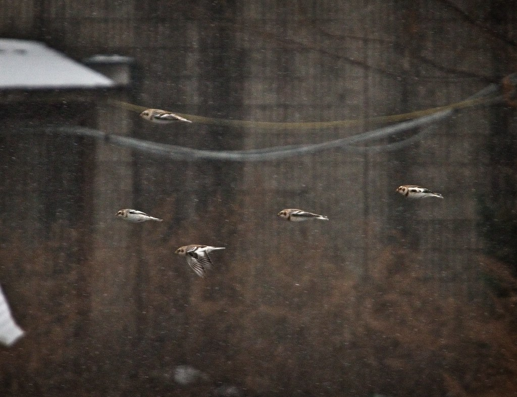 Snow buntings on Governors Island