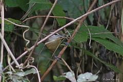 1.21032 Troglodyte à face pâle / Cantorchilus leucotis galbraithii / Buff-breasted Wren