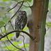 Tawny Owl (Strix Aluco) on Ashridge Estate