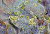 Photo:ランタンピータース石 / Petersite-(La) By D. Nishio-Hamane