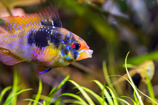 German Blue Ram -Mikrogeophagus ramirezi