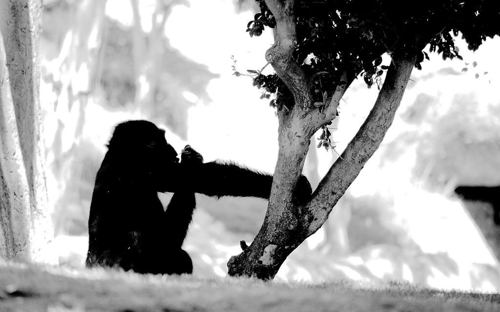 Western Gorilla_4