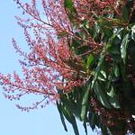Mangifera indica flowers