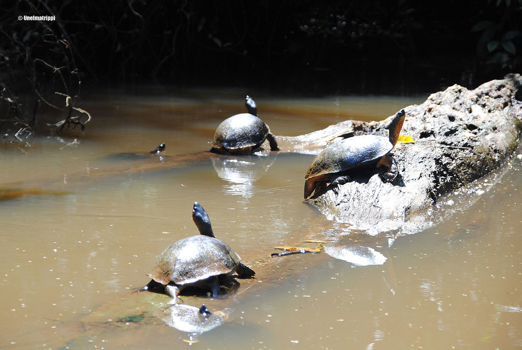 Kilpikonnat lämmittelemässä auringossa, Tortuguero, Costa Rica