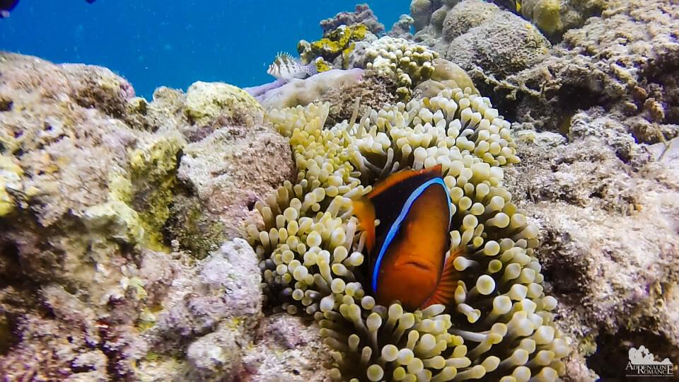 clownfish_and_anemone