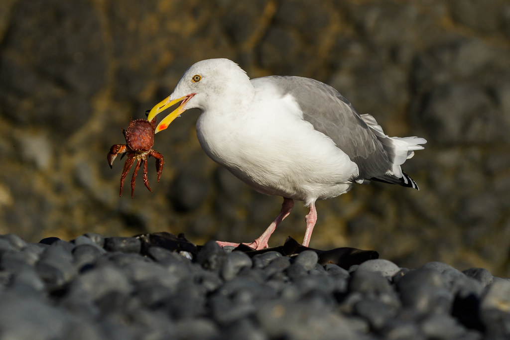 A western gull holds a dead red rock crab in its beak on Cobble Beach at Yaquina Head Outstanding Natural Area in Newport, Oregon