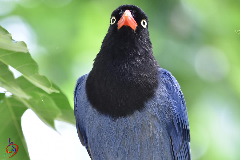 Formosan_Blue_Magpie_4589