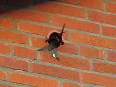 Gierzwaluw bij de ingang van observatiekast O
