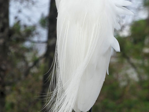 Great Egret Feathers at Gatorland