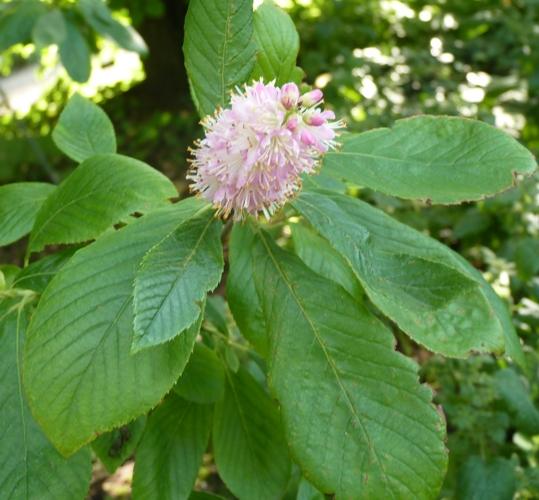Clethra alnifolia 39287464752_876d06037c_o