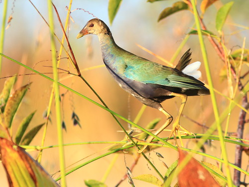 Purple Gallinule immature 08-20171225
