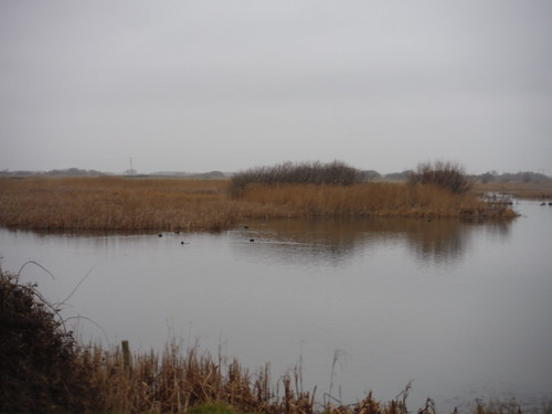 Birdlife in Reed-Ringed Water-Filled Pit, Dungeness RSPB Nature Reserve