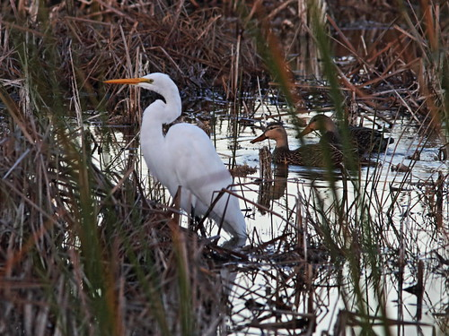 Great Egret with Mottled Ducks 02-20180107