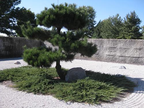 Pinus thunbergii Springfield MO BG 10 18 13