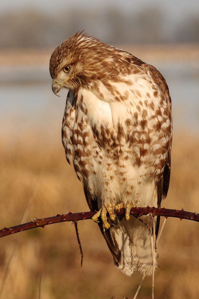 A juvenile red-tailed hawk looks down while perched on a blackberry vine at Rest Lake at Ridgefield National Wildlife Refuge