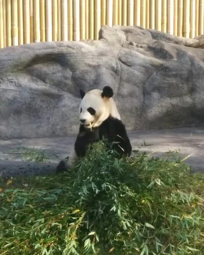 Da Mao (2) #toronto #torontozoo #pandas #giantpandaexperience #damao #bamboo #latergram