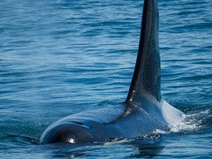 Orca near San Juan Islands