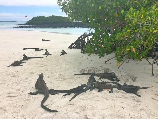 Loads of Marine Iguanas at Tortuga Bay Beach, Santa Cruz, Galapagos