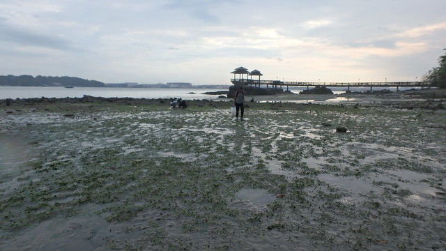 Seagrass meadows at Pulau Ubin South