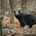 Black Bear by jeffloomis1