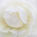 White Rose, (I), 11.7.17
