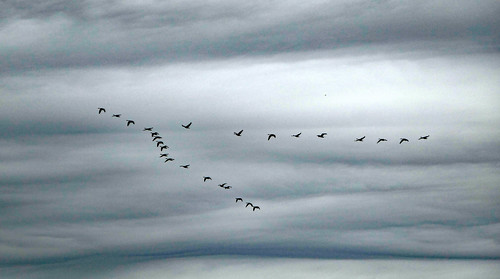 Geese flying in formation - Explore