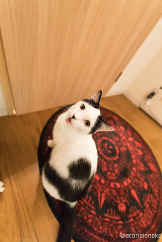 アトリエイエネコ Cat Photographer 38827943644_be52b0c695 1日1猫! 猫カフェみーちゃ・みーちょに行ってきました!その1 1日1猫!  里親様募集中 猫写真 猫 子猫 大阪 写真 保護猫カフェ 保護猫 スマホ カメラ みーちゃ・みーちょ Kitten Cute cat