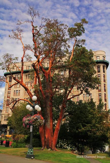Arbutus menziesii - Pacific madrona, madrone  at Fairmont Empress Hotel - Victoria, British Columbia, Canada