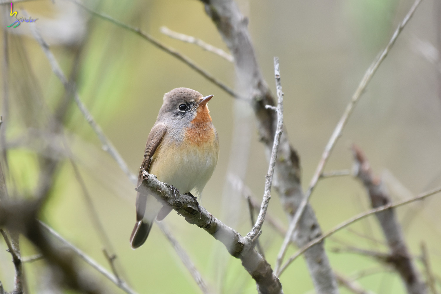 Red-breasted_Flycatcher_0930