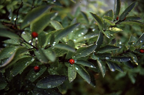 Red Berries - Kodachrome - 1986