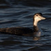 Great Northern Diver 26-12-17 Oulton Broad_F8A2863