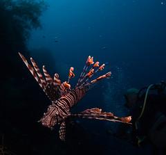 Lionfish & diver